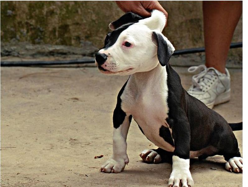 picture of a white and black pitbull puppy.jpg (3 comments ...