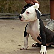 picture of a white and black pitbull puppy.jpg