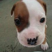 picture of pit bull puppy face.jpg