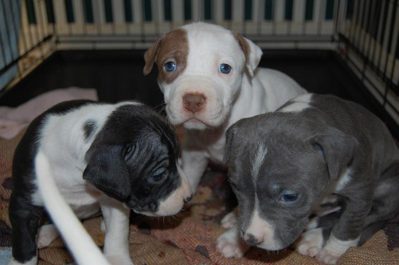 Picture Of Pitbull Puppies With Blue Eyes Jpg 19 Comments