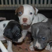 picture of pitbull puppies with blue eyes.jpg
