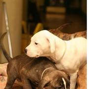 puppy pitbulls pictures.jpg