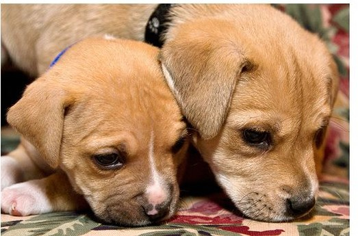 two cute pitbull puppies image.jpg