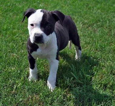 white and black pit bull pic.jpg (2 comments)