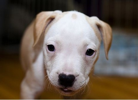 White And Light Tan Pit Bull Pup Picture Jpg