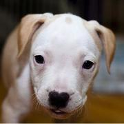 white and light tan pit bull pup picture.jpg