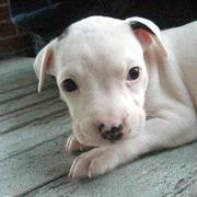 white pit bull pup with small black spots.jpg