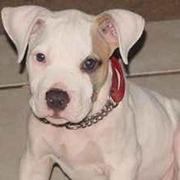 white pitbull pup with tan spot on its face.jpg
