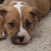 American Pit Bull Puppy picture.jpg