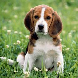 Beagle pup on the grass.jpg
