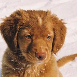 Gallery of Toller Puppies
