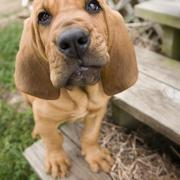 bloodhound puppy looking to the camera.jpg