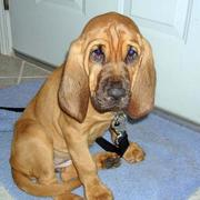 Bloodhound puppy is ready to go for a walk.jpg