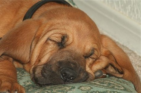 picture of a sleep dog face_bloodhound pup.jpg