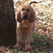picture of bloodhound pup.jpg