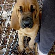 tan Bloodhound puppy images.jpg