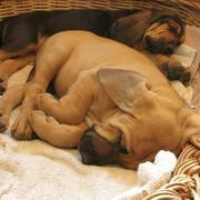 two bloodhound puppies in deep sleep.jpg