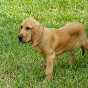 a beautiful bloodhound puppy image.jpg