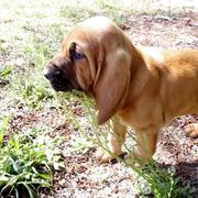 Blood hound dog pictures.jpg