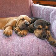Bloodhound puppies picture in tan and brown.jpg