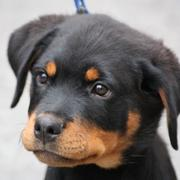 Rottweiler Puppy Pictures Gallery