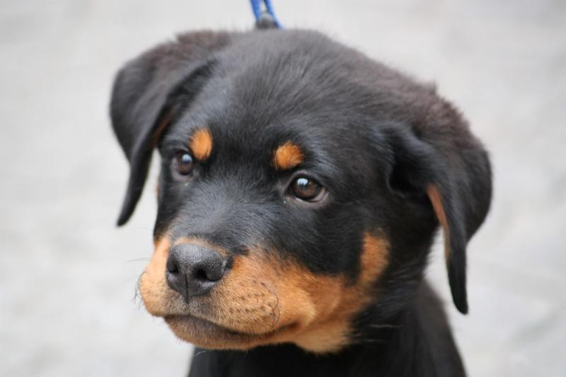 Rottweiler Puppy Pictures Gallery 87 Posted