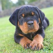 Rottweiler puppy photo on the grass.jpg