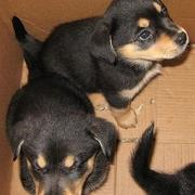 cute puppies rottweiler dog in box.jpg