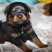 cute small rottweiler dog puppy image.jpg