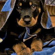 image of rottweiler pup under the towl.jpg