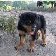 photos of rottweiler puppy.jpg