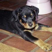 picture of rotweiler puppy dog looking so cute and sweet.jpg