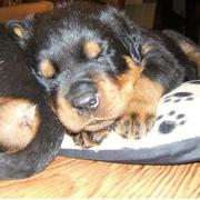 Rottweiler pup in deep sleep.jpg