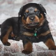 Rottweiler puppy dog looking at the camera.jpg