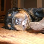 sleeping rottweiler puppy with it tounge sticking out.jpg