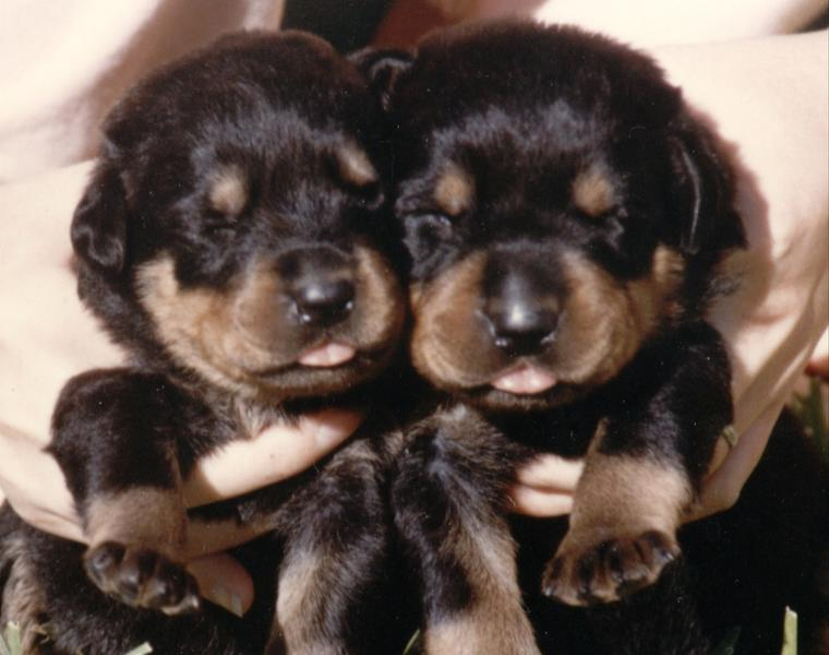 Young Female Puppy With Uti