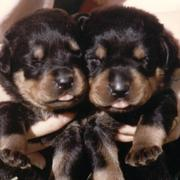 two young Rottweiler puppies.jpg