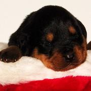 young rottweiler puppy in christmas hat.jpg