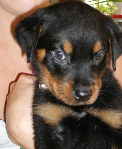 close of photo of a rottweiler pup face.jpg