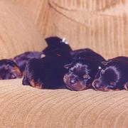 cute rottweiler breeders pictures.jpg