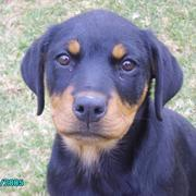 looking sad and serious rottweiller puppy image.jpg