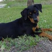 picture of a beautiful rottweiler puppy.jpg