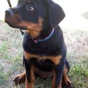 pictures of beautiful rottweiler pup.jpg