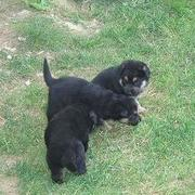 Rottweiler puppies playing in the back yard.jpg