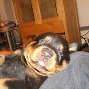 rottweiler puppy enjoying life.jpg