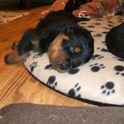 sleeping young rottweiler puppy with one eye open.jpg