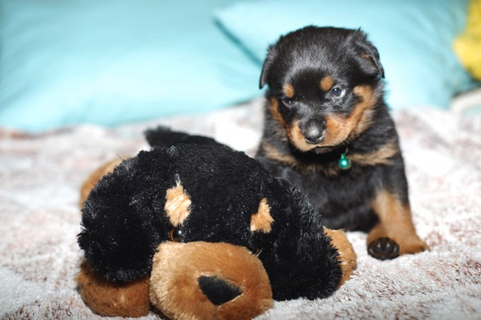 Small Rottweiler Puppy With Its Big Dog Toy Jpg 2 Comments
