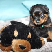 small rottweiler puppy with its big dog toy.jpg