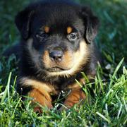 a beautiful rottweiller puppy laying on the grass.jpg
