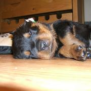close up picture of a sleepy rottweiler puppy.jpg